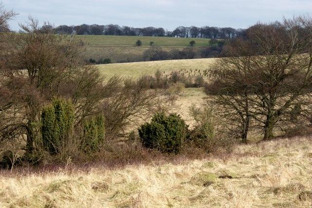 Juniper at Aston Rowant National Nature Reserve