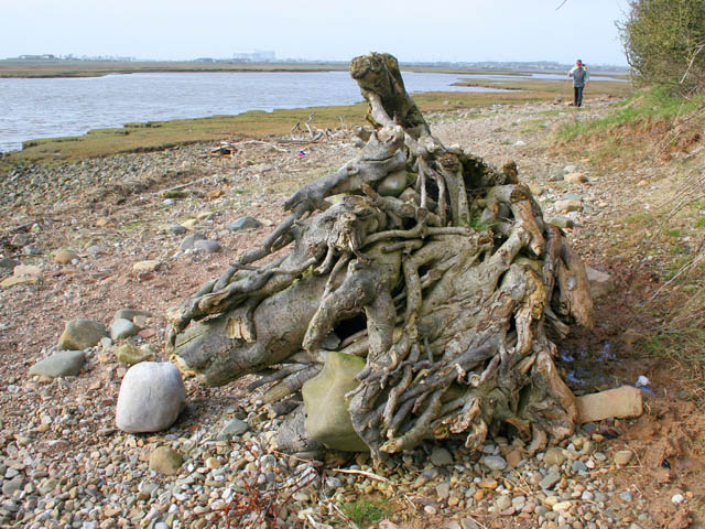 Old tree roots on the shore