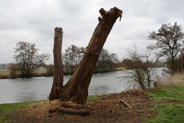 Recently pollarded willow on the banks of the Thames