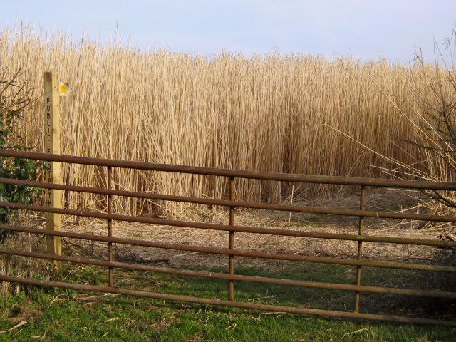 Footpath through bio-fuel field [1]