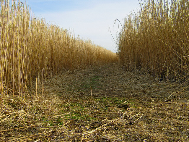 Footpath through bio-fuel field [2]