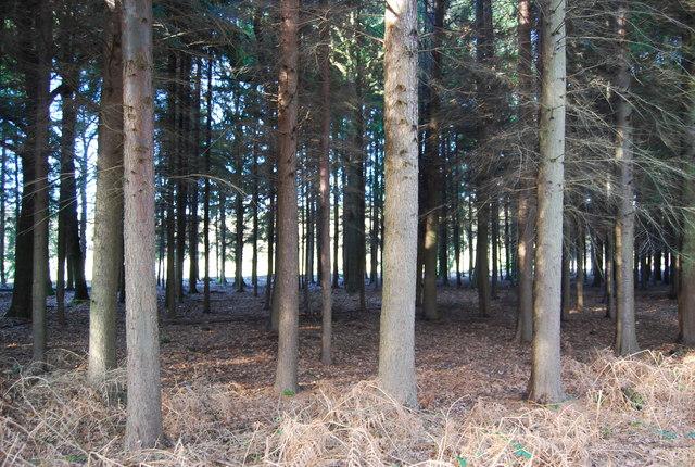 Conifers, Hartley Wood