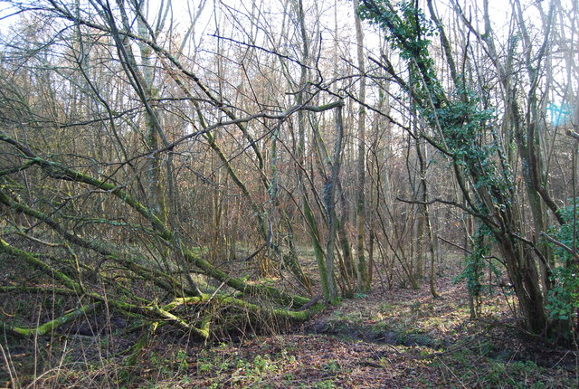 Coppicing in Binswood