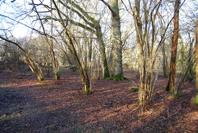 Coppicing by the path in Binswood