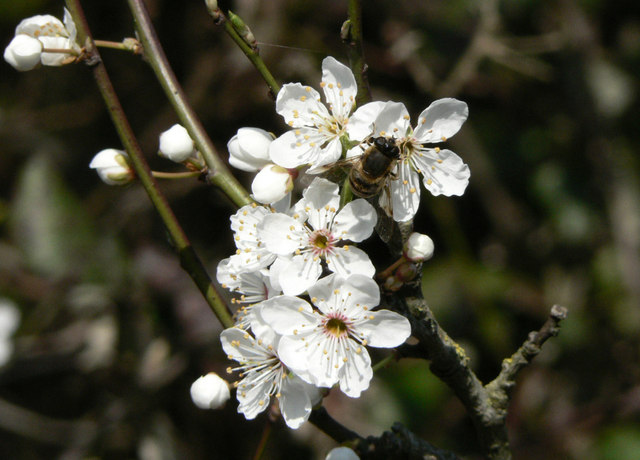 Bee on Blackthorn blossom.