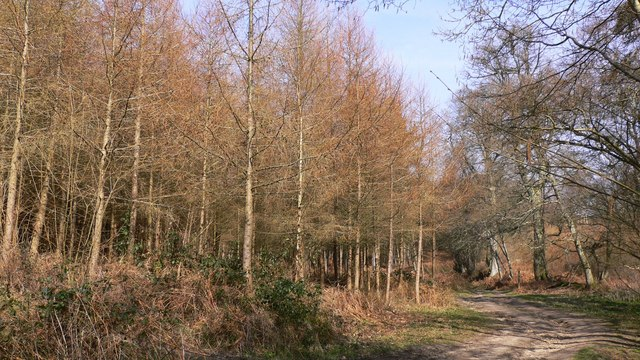 Larches on North Heath north of Easebourne