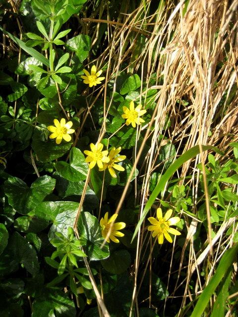 Lesser Celandine, Ranunculus ficaria (Linn.)