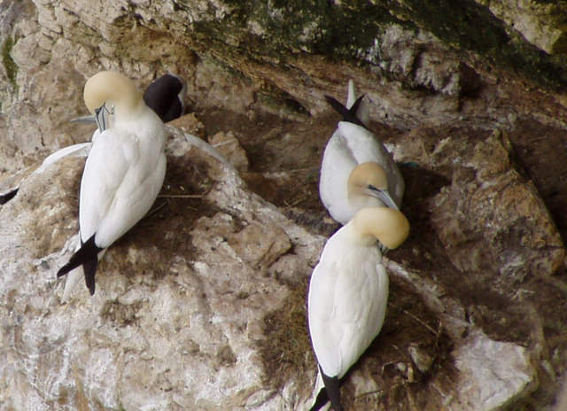 Gannets on Bempton Cliffs