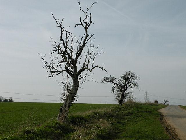 Two trees on Heath Road, Swaffham Prior