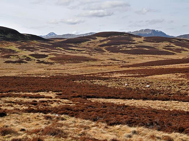 Rough moorland and sheep