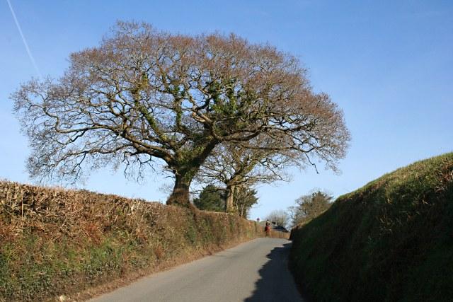 Hedgerow Oak Tree in the Spring