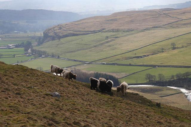 Cattle on Knipe Scar
