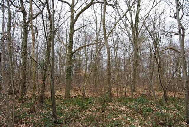 Clowes Wood off Hackington Rd