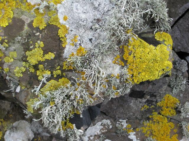 Lichens on rocks near the shore