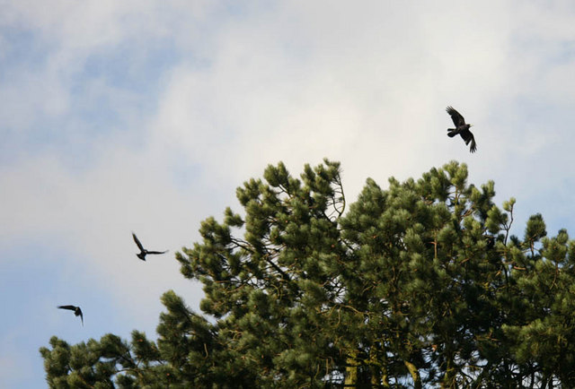 Crows in Buckden