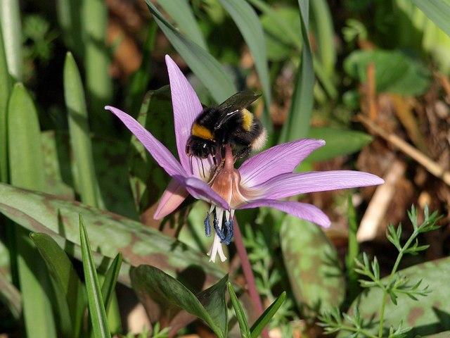 Bee on Erythronium