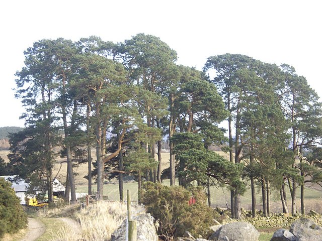 A stand of Scots Pine