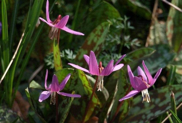 Erythronium dens-canis, Parke