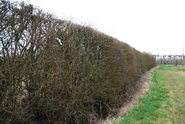 Hedgerow near Amery Court