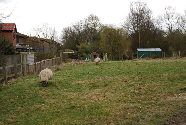 Sheep grazing, Blean