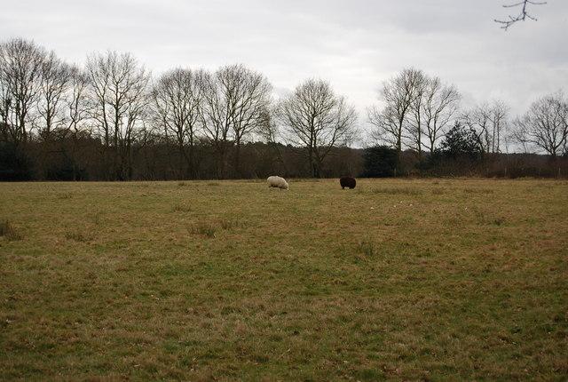 One white sheep, one black sheep near Blean Wood