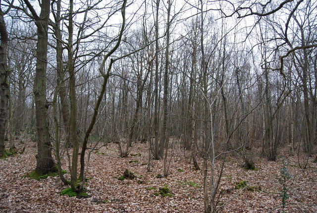 Coppiced Woodland, Blean Wood