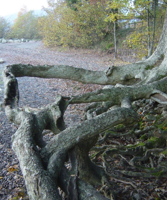 Washed out tree roots, Derwentwater