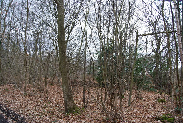 Coppiced Woodland, Blean Wood (2)