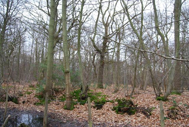 Earthbank buried in leaves, Blean Wood