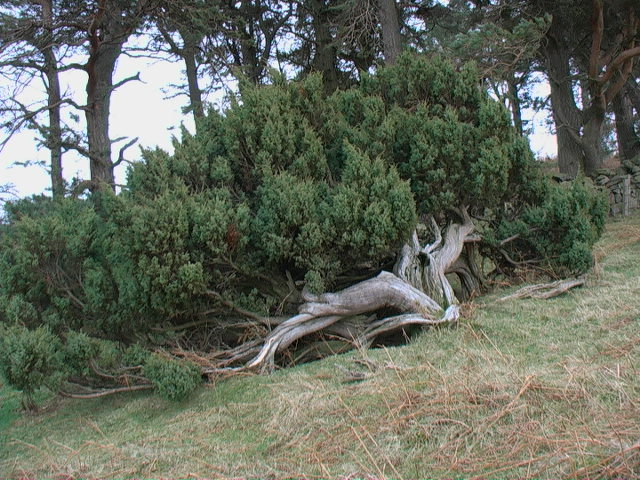 Juniper near Heddon Wood