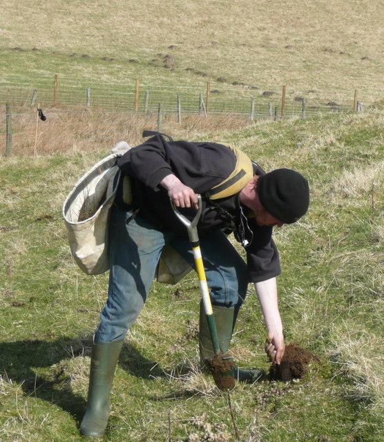 Planting hawthorn hedge