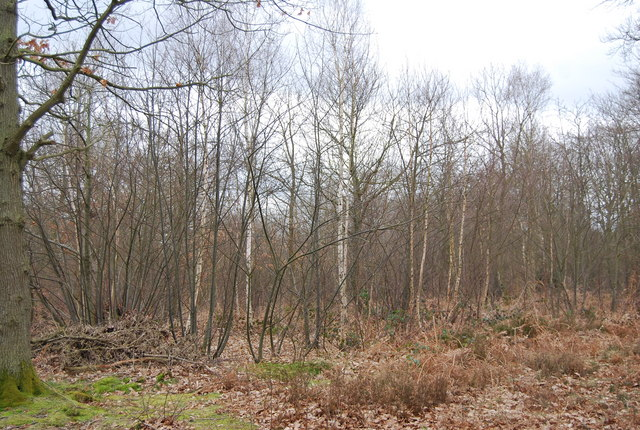 Coppiced trees, Blean Wood
