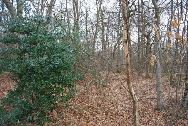 A holly bush by the path, Blean Wood