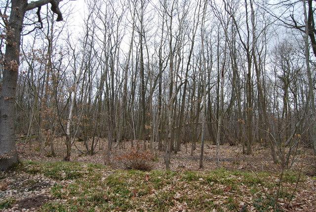 Birch trees, Blean Wood