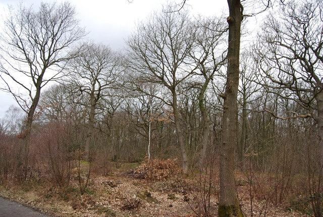 Trees in winter, Blean Wood
