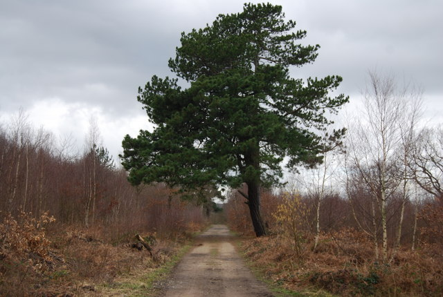Large conifer by the path, North Bishopden Wood