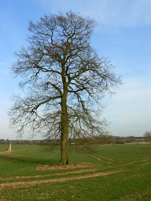 Farmland and tree south of Whitehill Lane, near Grittenham