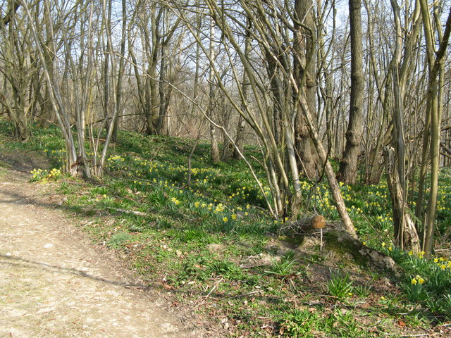 Wild Daffodils alongside bridleway north of Harwoods Green