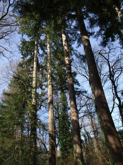 Conifers, Parke