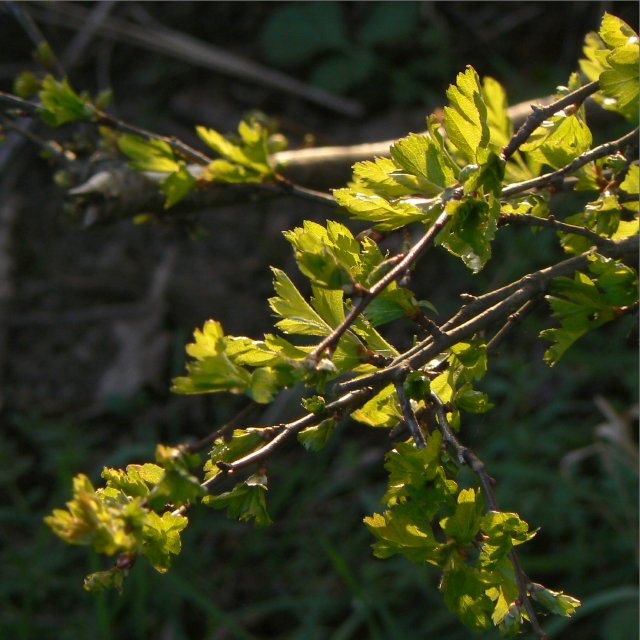 New thorn leaves in the spring sun