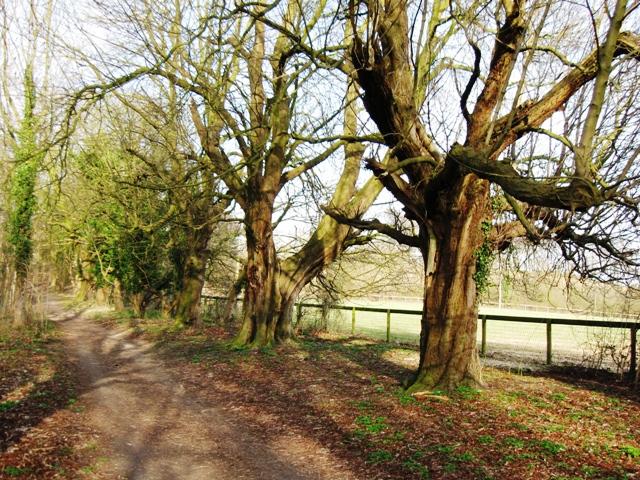 The ancient horse chestnut avenue, Aldbury
