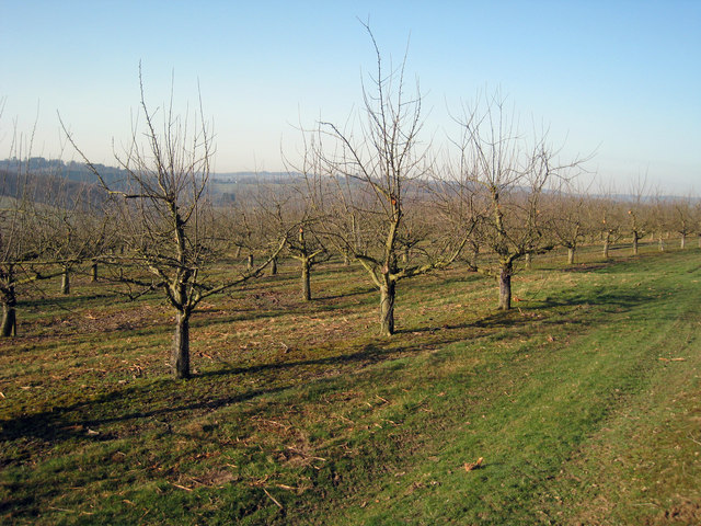 Orchard near Lordship Wood