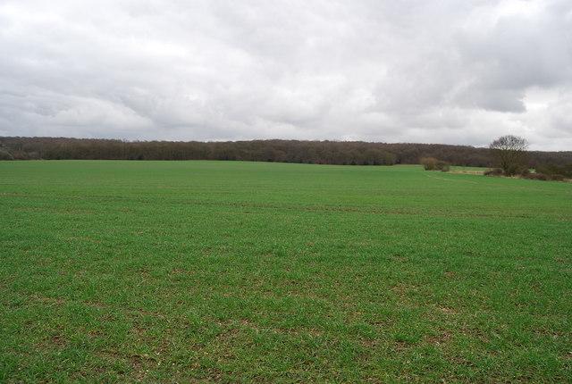 Field of winter wheat south of Denstroude Lane