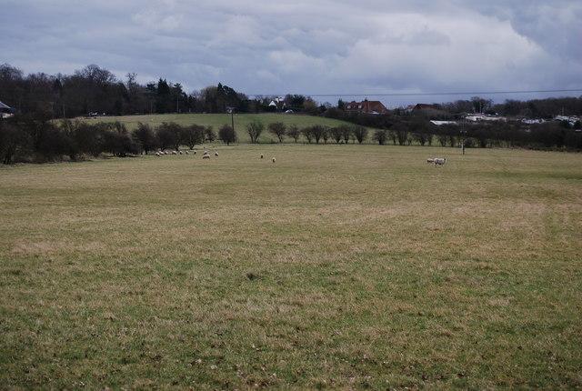 Sheep grazing south of Denstroude Lane
