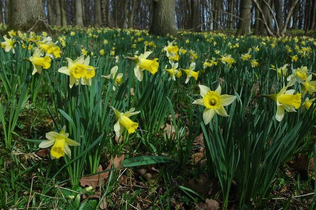 Wild daffodils in Hallwood