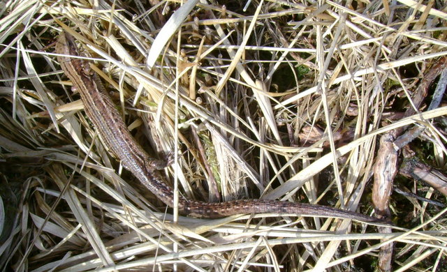 Female common lizard