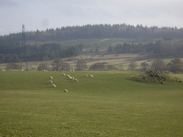 Sheep grazing by the River Deveron