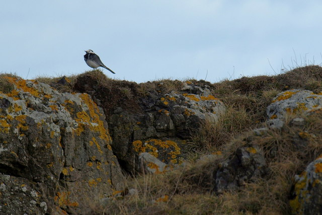 A Pied Wagtail on rocks near Scurdie Ness