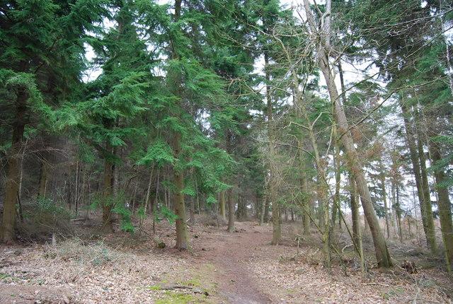 Footpath through conifers, Clowes Wood