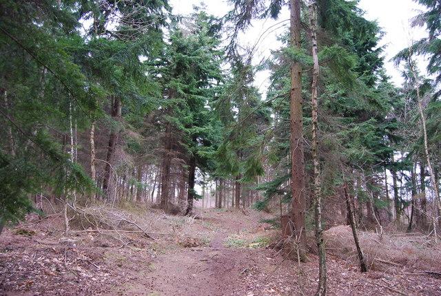 Footpath through conifers, Clowes Wood (2)